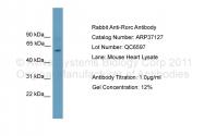 ARP37127_P050 - ROR-gamma / RORC