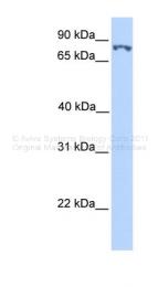 ARP38249_P050 - SSRP1 / FACT80