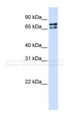 ARP38504_P050 - Splicing factor 1 (SF1)