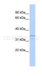ARP38524_P050 - TIS11B / ZFP36L1