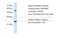 ARP38692_T100 - SMAD1