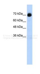 ARP39110_T100 - CpG-binding protein