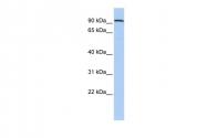 ARP39438_P050 - Ah receptor repressor / AhRR