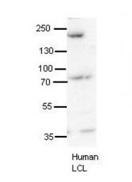 ARP40498_P050 - Synaptojanin-1 / SYNJ1