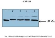 ARP41405_P050 - CYP1A1