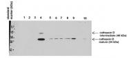 ARP41481_P050 - Cathepsin D