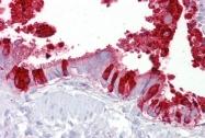 ARP41524_P050 - SCGB1A1 / Uteroglobin