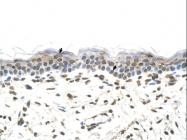 ARP41577_P050 - 58K Golgi Protein