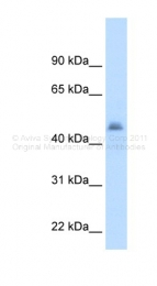 ARP41801_T100 - CYP3A7
