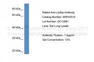 ARP42516_P050 - LRP2-binding protein / LRP2BP