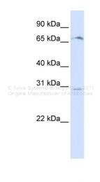 ARP44509_P050 - Olfactory receptor 6C75