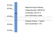ARP45142_P050 - ACP2 / LAP