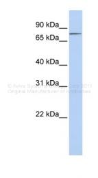 ARP45250_P050 - Integrin beta-8 / ITGB8