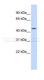 ARP45503_P050 - Tomoregulin-1 / TMEFF1