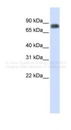 ARP45724_P050 - Macrophage stimulatory protein
