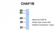 ARP45826_P050 - CAF-1 subunit B