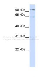 ARP46205_P050 - DLGAP5 / DLG7