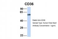 ARP48127_P050 - CD36