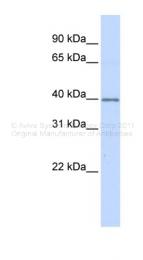 ARP48200_P050 - Decorin
