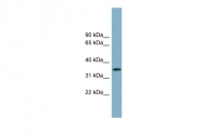 ARP51159_P050 - Apolipoprotein H / Apo H