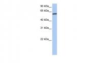 ARP52067_P050 - Cortactin