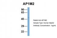 ARP52081_P050 - AP1 complex subunit mu-2 / AP1M2