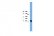ARP52154_P050 - Cyclophilin H / PPIH