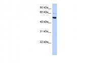 ARP52255_P050 - AP3 complex subunit mu-2 / AP3M2