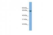 ARP53264_P050 - MCMDC2 / C8orf45