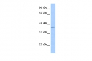 ARP53385_P050 - Layilin