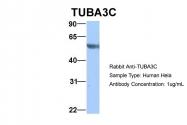 ARP53650_P050 - alpha Tubulin / TUBA3C / TUBA2