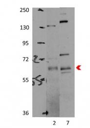 ARP53652_P050 - PRKAA1