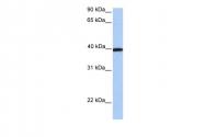 ARP54316_P050 - Apolipoprotein A IV / ApoA4
