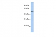 ARP54742_P050 - Islet cell autoantigen 1 / ICA1