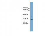 ARP54791_P050 - 14-3-3 protein sigma / SFN