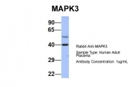 ARP56432_P050 - MAPK3 / ERK1