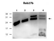 ARP56565_P050 - RAB27B