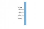 ARP56721_P050 - Relaxin 1 / RLN1
