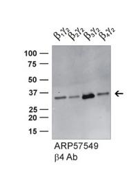ARP57549_P050 - Transducin beta chain 4 (GNB4)