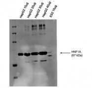 ARP57904_P050 - HNF1 alpha / TCF1