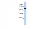 ARP58095_P050 - Vitronectin