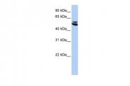 ARP58232_P050 - Cytokeratin 7