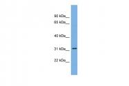ARP58263_P050 - CDCA5 / Sororin