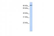 ARP58396_P050 - Mucin-3B