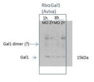 ARP58491_P050 - Galectin-1
