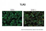 ARP59036_P050 - CD282 / TLR2