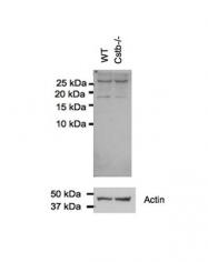 ARP59177_P050 - Cystatin-B