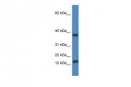 ARP59487_P050 - VAMP-1 / Synaptobrevin-1