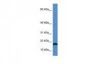 ARP59488_P050 - VAMP-1 / Synaptobrevin-1