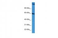 ARP60229_P050 - CD239 / BCAM